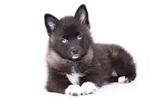 Kate - Female Mini Pomsky Puppy | Puppy at 25 weeks of age for sale