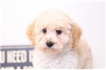 Picture of Carter- Sweet ACA Male Toy Poodle