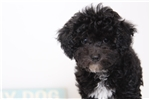 Picture of Bambi- Adorable ACA Female Toy Poodle
