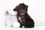 Picture of Duke- Very Handsome Male Schnoodle Puppy