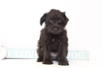 Picture of Winny- Female Schnoodle Puppy