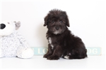 Picture of Danny- Cute Male Schnoodle Puppy