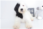 Picture of Riley- Fun Female F1B Sheepadoodle Puppy