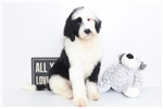 Picture of Zeke- Awesome Male F1B Sheepadoodle Puppy