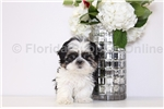 Shih Tzu for sale