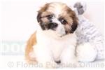 Picture of Heidi - ACA Female Shih-Tzu Puppy