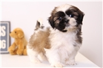 Waldo - Male Shih-Tzu | Puppy at 10 weeks of age for sale