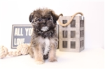 Picture of Miranda - Female Shorkie Puppy