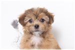Picture of Poppy- Female Shorkie Puppy