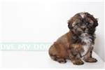 Picture of Pluto- Male Shorkie Puppy