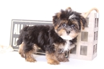 Picture of Tommy - Male Shorkie Puppy