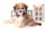 Picture of Maggie - Female Shorkie Puppy