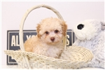 Picture of Aaron - Male F1B Yorkie-Poo
