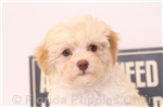 Picture of Hank - Male F1B Yorkie-Poo