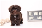 Francine - Female Yorkie-Poo | Puppy at 10 weeks of age for sale