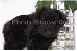 Picture of Olive - Female Yorkie-Poo Puppy