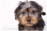 Picture of Lacey - ICA Female Yorkie Puppy