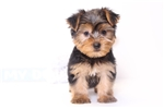 Yorkshire Terriers - Yorkies for sale