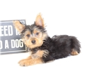 Picture of Cheerio- Male Yorkie Puppy