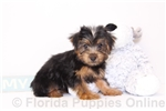 Picture of Lucy - Darling ICA Female Yorkie Puppy