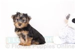 Picture of Paco - Male ICA Yorkie Puppy