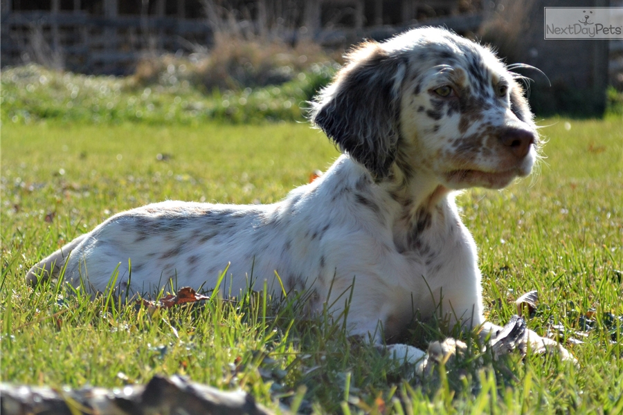 Llewellin Setter Male Puppy #2 - Born 09/07/2016 | Brown ...