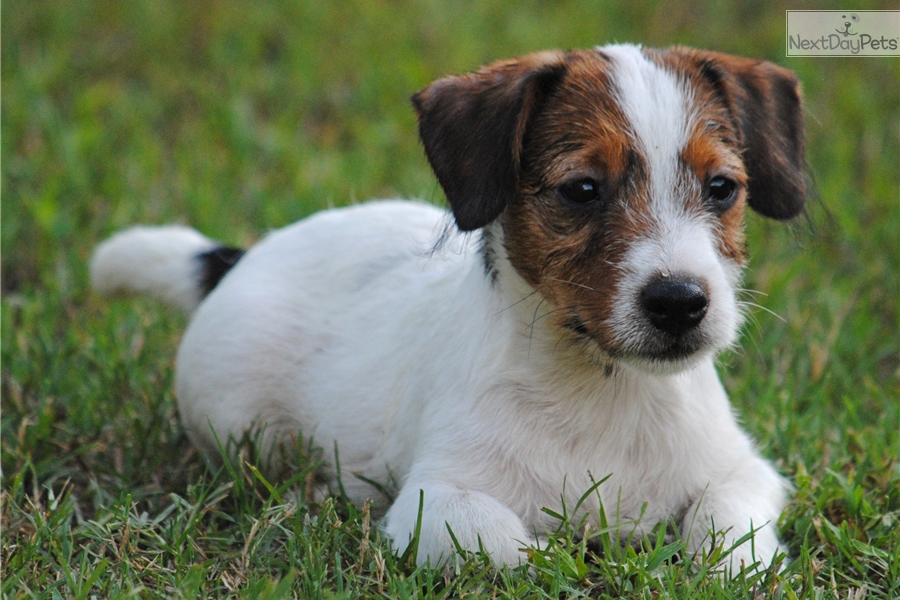 jack russell terrier puppies for sale in houston and breeders tattoo design bild. Black Bedroom Furniture Sets. Home Design Ideas