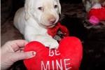 Picture of Beautiful AKC Yellow English Lab Puppy