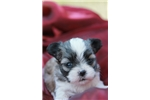 Picture of Morganna le femme - female malshi for sale