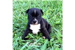 Picture of AKC Sofie - Excellent for families with kids