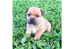 Picture of AKC Scotty - Excellent for families with kids