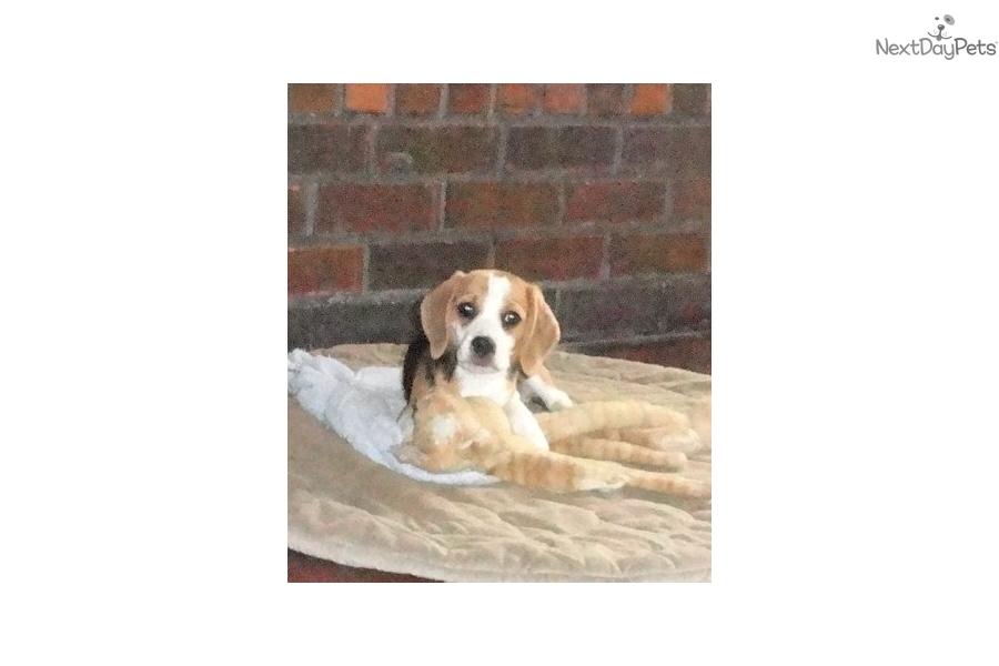 Beagle puppy for sale near shreveport louisiana 06b142f3 3b61