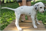 Picture of ACA Dalmatian Male Puppy Shadow