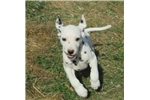 Picture of Ready to go ACA Dalmatian Male Puppy Shadow