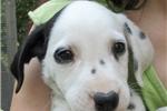 Picture of ACA Dalmatian Male Puppy Eclipse