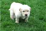 Picture of Red, Light Golden Retriever Male