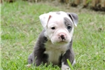 Picture of Blue and White Male Puppy