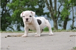 Picture of Blue and White female Puppy