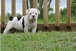 Picture of Blue and white Olde English Bulldogge