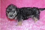 Dandie Dinmont Terrier for sale