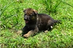 Picture of German Shepherd Puppy: Working with video
