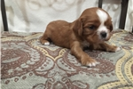 Picture of Adorable Ruby male ACA King Charles Cavalier puppy