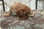 Picture of Beautiful Female Ruby ACA King Charles Cavalier