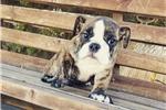 Picture of AKC English Bulldog Boy