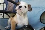 Picture of AKC English Bulldog Girl