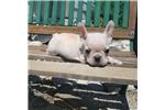Picture of AKC French Bulldog Boy