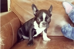 Picture of AKC Mini French Bulldog Girl