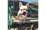 Picture of AKC French Bulldog Girl