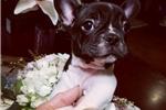Picture of AKC Mini French Bulldog Pups