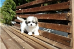 Picture of Tiny Mal-shi Puppy